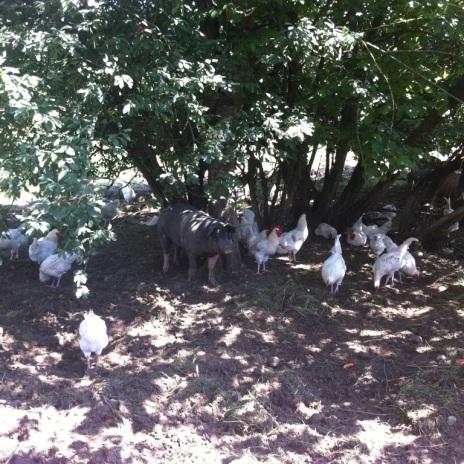 Hühner beim Selbstversorger