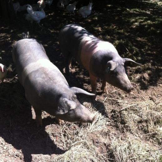 Schweine in der Selbstversorgung
