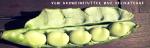 Die Auferstehung der Ackerbohne-x