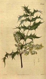Mahonia aquifolium (Berberis) Curtis Botanical Magazine 1823