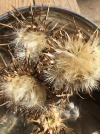 Braune Mariendistel Blüten