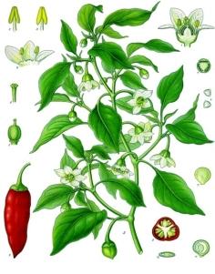 Capsicum annum Köhler's Medizinal Pflanzen