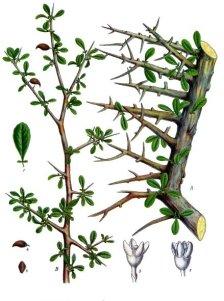 Comniphora myrrha Köhler's Medizinal Pflanzen