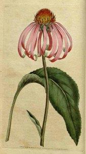 Echinacea Purpurea Botanical Magazine 1787