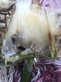 Blüteninneres der Mariendistel