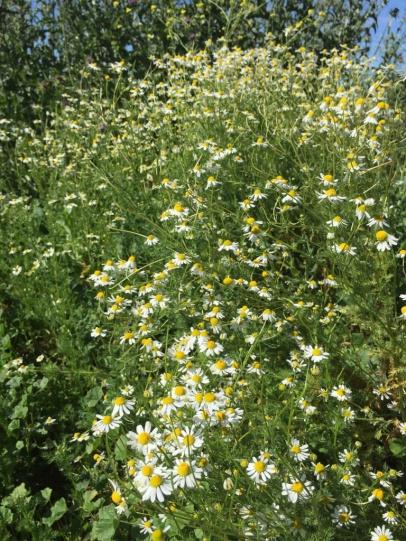 Kamillenbusch im Garten