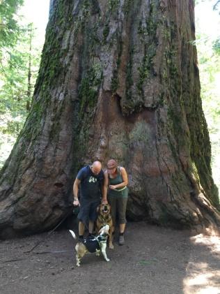 Alte Sequoia