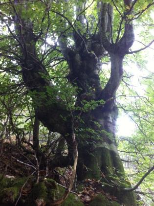 Alter Baum in Toskana