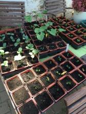 Anzucht von Gemüsepflanzen