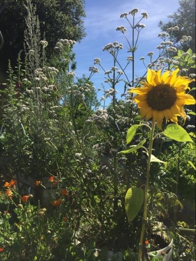 Sonnenblume mit Baldrian
