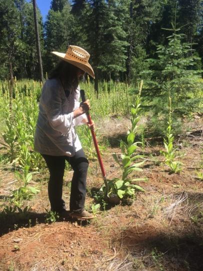 Pam Fischer gräbt Königskerze aus