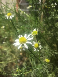 Kamille in Blüte