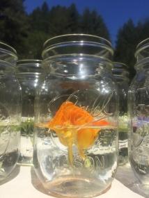 Kapuzinerkresse im Glas