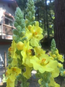 Königskerze in Blüte