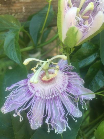 Passionsblume in Blüte
