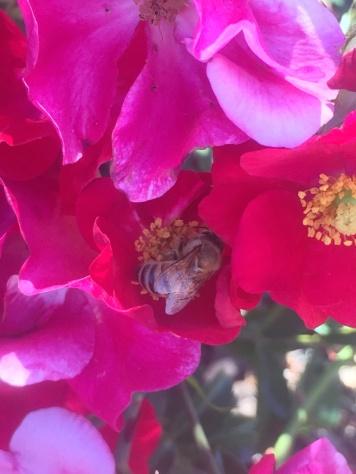 Rosa Rose mit Biene
