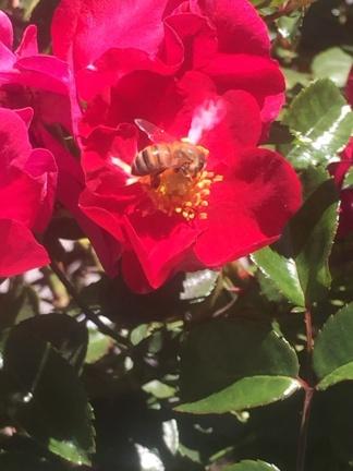 Rote Rose mit Biene