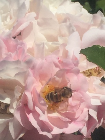 Weisse Rose mit Biene