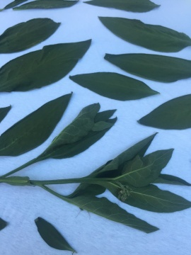 Beinwellblätter trocknen